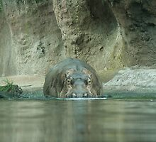 Nile Hippo on the Pangani Forest Exploration Trail by LindaMac