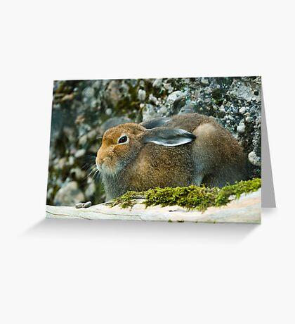 Sitting mountain hare  Greeting Card