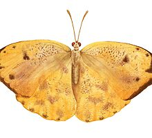 Apricot Sulfur Butterfly by NearBird