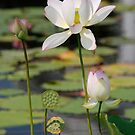 white lotus by mc27