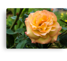 Early Summer Blooms Impressions - Elegant Peach Rose Canvas Print