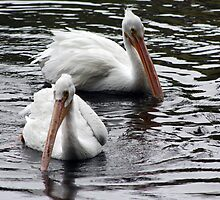 Pelicans by Laurie Puglia