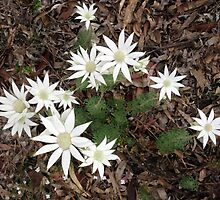 Flannel flower flurry by Chris Allen