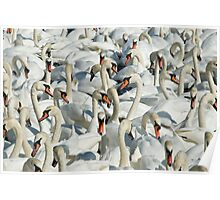 A Whiteness of Swans Poster