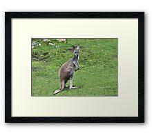 Wallaroo Framed Print