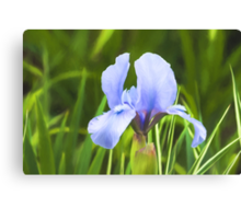 Pale Purple Iris - Impressions Of Spring Canvas Print