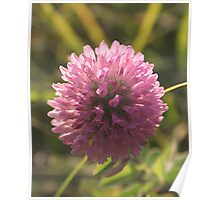 Red Clover Macro Poster