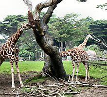 Giraffes by Laurie Puglia
