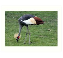 African Crane Art Print