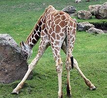 Baby Giraffe by Laurie Puglia