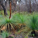Grass Trees by Peter Krause