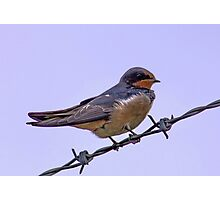 Swallow on Wire Photographic Print