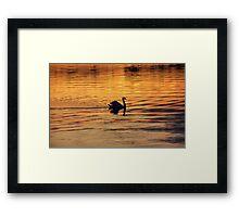 Swan on golden pond Framed Print