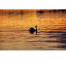 Swan on golden pond Photographic Print