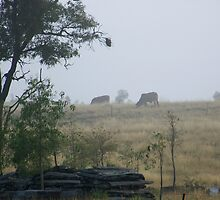 Cows in the mist by KylieB