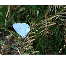 A Holly Blue Photographic Print