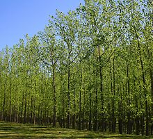 Army Of Poplars by Brad Woodman
