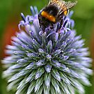 Bee on blue by Sue Purveur