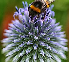 Bee on blue by Mortimer123