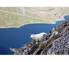 A Rock Climbing Sheep! Photographic Print