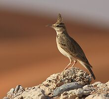 Crested Lark and Dunes by David Clark