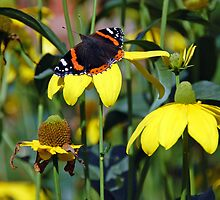 Red Admiral Butterfly on yellow daisy flowers by rosie320d