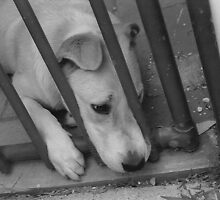 Dog Behind Fence 3 by bigjim232