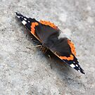 Red Admiral Butterfly 'sunbathing' on a wall by rosie320d