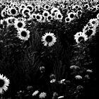 Sunflowers in B&W........... by Imi Koetz