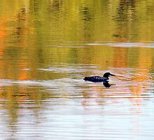 Loon swimming in colour by Gotcha  Photography