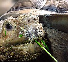 an African Sulcata and blade of grass by Liz Wear
