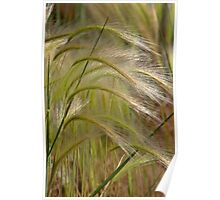 Indiangrass Swaying Softly In The Wind Poster