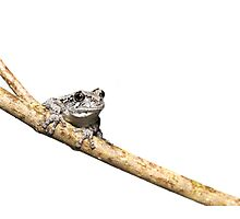 Gray Treefrog on Stick - whitebox Photographic Print
