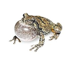 Gray Treefrog - whitebox Photographic Print