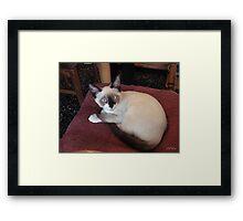 Meet Mick (Purebred Snowshoe) Framed Print