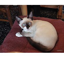 Meet Mick (Purebred Snowshoe) Photographic Print