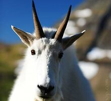 Mountain Goat Portrait, Glacier NP by artsphotoshop