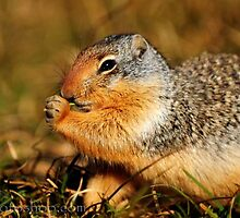 Glacier Squirrel 3 by artsphotoshop