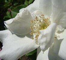 Morden Snow Beauty Rose by Diane Petker