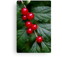 Red Honeysuckle Berries Canvas Print