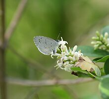 Spring Azure Butterfly by Jeff VanDyke