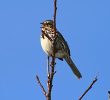 Song Bird by HALIFAXPHOTO