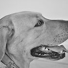 Yellow Labrador with a Heart of Gold by Christine Till  @    CT-Graphics