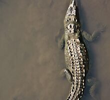 Gator by Paul Clarke
