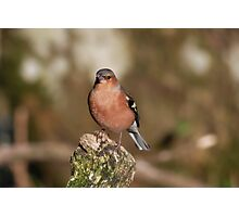 Fringilla Coelebs - Common Chaffinch (male) Photographic Print