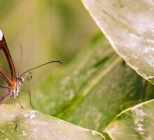 Clear 'Glasswing' Tropical Butterfly by Felix Aitken