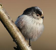 Long -Tailed Tit - Aegithalos Caudatus by Robert Flynn