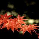 Maple by Tony Lomas