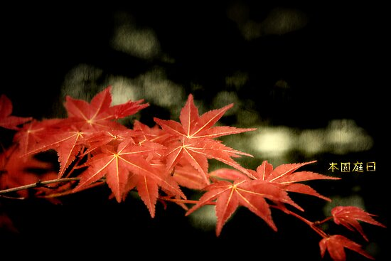Maple by Tony Lomas