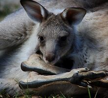Baby Joey in its Pouch by steen